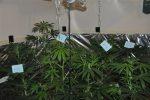 marihuana 5104 (600 x 399)