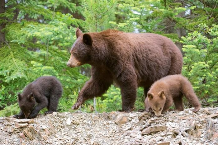Mrki medved, najkrupnija zver na području Srbije i na Balkanu, strogo je i trajno zaštićena vrsta!!!