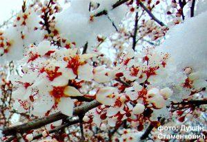 Prolećni mraz u gotovo čitavoj zemlji napravio veliku štetu koštičavom voću!!!