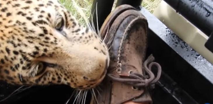 Turista je u Bocvani snimio znatiželjnog leoparda...!!!