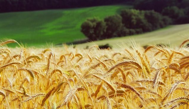 ŽETVU pšenice u Srbiji, naznačajniji posao za ratare, zaustavila je -kiša !!!