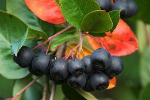 Proizvođači aronije kažu da kupaca nema pa će velike količine plodova ostati na zemlji i propasti !!!