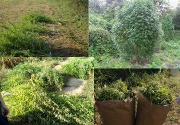 Na nekoliko mesta u centru Šumadije policija pronašla više zasada sa ukupno 140 kilograma biljke indijske konoplje - marihuane!!!