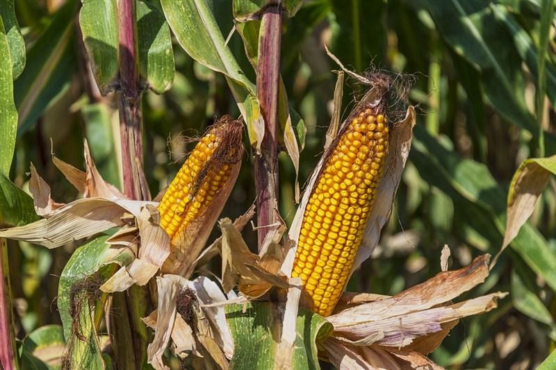 U narednih desetak dana bi trebalo da se skine kukuruz, i u klipu, i u zrnu!!!
