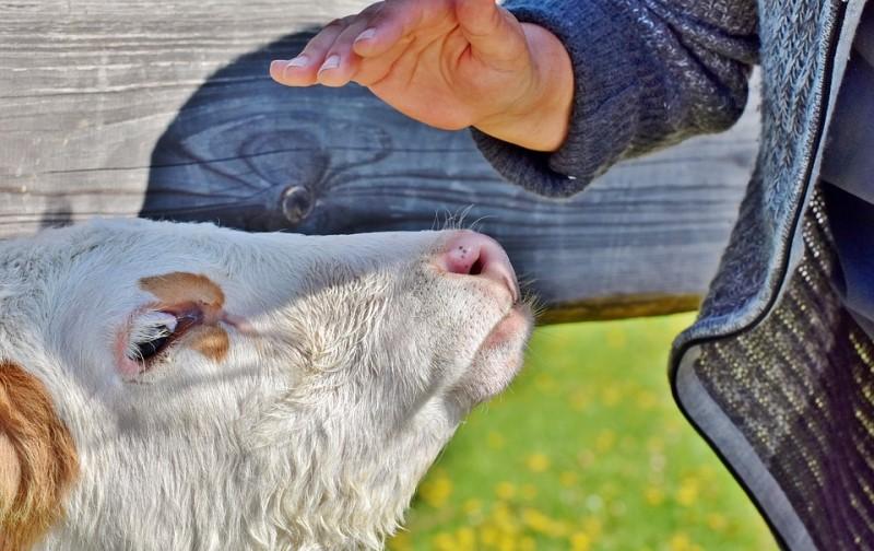Maženje krava može da poboljša vaše mentalno zdravlje!!!