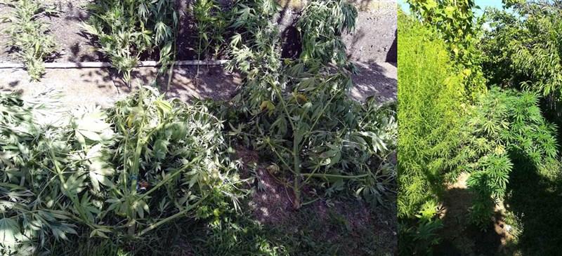 Muškarcu Z. D. (1975) iz okoline Kragujevca u seoskom domaćinstvu nadjeni zasadi indijske konoplje koje je uzgajao i prodavao !!!