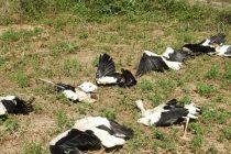 U ataru sela Potočac kod Paraćina tužan prizor-celo jato belih roda ubila struja !!!