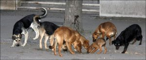 """""""ZOO higijena"""" u Smederevskoj Palanci uklanja pse lutalice 10. decembra !!!"""