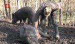 Lovac iz Gložana kod Svilajnca pripitomio divlje svinje !!!