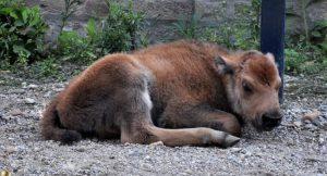Beo Zoo vrt objavio je jednu lepu vest - na svet je došla beba američkog bizona !!!
