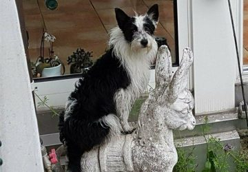 Teška srca poklanjam kuče rase Border Collie